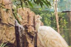 Белый павлин сидя на ветви в парке Стоковое фото RF