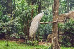 Белый павлин сидя на ветви в парке Стоковая Фотография RF