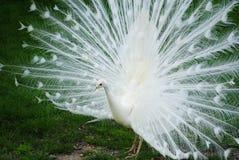 Белый павлин Стоковое Изображение