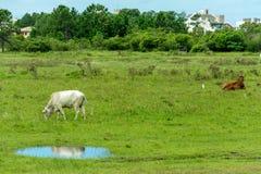 Белый пасти коровы и свое отражение на лужице воды стоковые изображения
