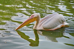 Белый пеликан в пруде Стоковые Фотографии RF