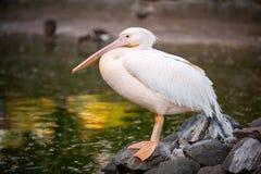 Белый пеликан, onocrotalus Pelecanus, в зоопарке Взгляд со стороны стоковые фотографии rf