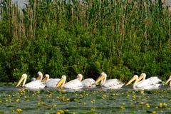 Белый пеликан & x28; onocrotalus& x29 pelecanus; Стоковые Изображения RF