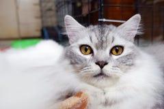Белый персидский кот в Азии стоковое изображение