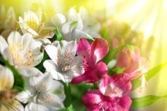 Белый, пинк и пурпурный цветок лилии на запачканном крупном плане предпосылки, мягкой цветочной композиции лилий фокуса стоковая фотография