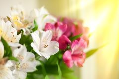 Белый, пинк и пурпурный цветок лилии на запачканном крупном плане предпосылки, мягкой цветочной композиции лилий фокуса стоковые фотографии rf