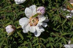 Белый пион с бутонами в саде в полдень стоковое фото