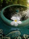 Белый плавать цветка Plumeria стоковые изображения rf