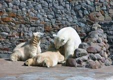 Белый полярный медведь Стоковое Изображение RF