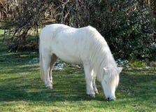 Белый пони пася траву в выгонах Стоковая Фотография RF