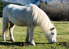 Белый пони пася траву в выгонах Стоковое фото RF