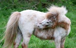 Белый пони Shetland стоковые фото