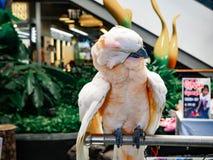 Белый попугай очищает в зоопарке стоковое фото