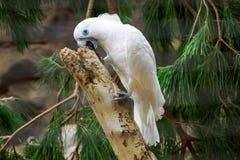 Белый попугай стоя на дереве стоковое фото