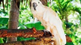 Белый попугай, ara 2018 попугая //птицы какаду красивый белый стоковые изображения
