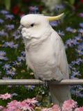 Белый попыгай Стоковые Изображения RF