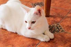 Белый портрет кота дома лежа и ослабляя Закройте вверх белого кота котенка в доме Стоковое фото RF