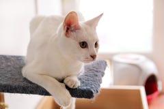Белый портрет кота дома лежа и ослабляя Закройте вверх белого кота котенка в доме Милый кот дома сидит на платформе Стоковое Фото