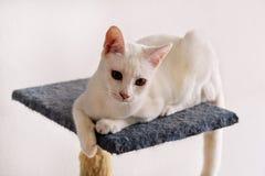 Белый портрет кота дома лежа и ослабляя Закройте вверх белого кота котенка в доме Милый кот дома сидит на платформе Стоковые Изображения