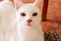 Белый портрет кота дома лежа и ослабляя Закройте вверх белого кота котенка в доме Милая красивая маленькая киска Стоковое фото RF