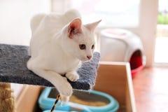 Белый портрет кота дома лежа и ослабляя Закройте вверх белого кота котенка в доме Милый кот дома сидит на платформе Стоковое фото RF