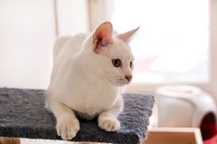 Белый портрет кота дома лежа и ослабляя Закройте вверх белого кота котенка в доме Милый кот дома сидит на платформе Стоковая Фотография RF