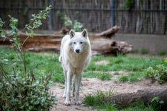 Белый приполюсный волк в зоопарке Берлина Стоковая Фотография