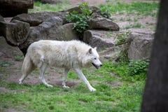 Белый приполюсный волк в зоопарке Берлина Стоковое Изображение