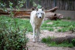 Белый приполюсный волк в зоопарке Берлина Стоковые Изображения RF