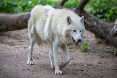 Белый приполюсный волк в зоопарке Берлина Стоковые Фото