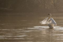Белый протягивать лебедя стоковая фотография rf