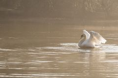 Белый протягивать лебедя стоковое изображение