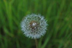 Белый пушистый цветок в зеленой траве Стоковые Изображения RF