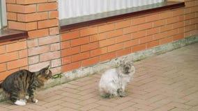 Белый расслабленный кот сидит на земле, темный красочный кот причаливает и скачет на белизну одно акции видеоматериалы