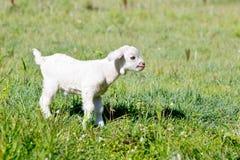 Белый ребенк козы стоя в paddock на солнечный день Стоковые Фото