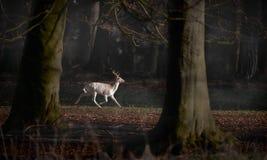 Белый самец оленя ланей бежать через лес стоковые фото