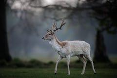 Белый самец оленя ланей в расчистке полесья стоковое фото rf