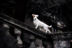 Белый терьер Джек Рассела породы собаки на предпосылке черного парка стоковое изображение