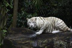 Белый тигр Бенгалии в джунглях Стоковые Фотографии RF