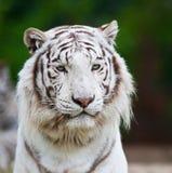 Белый тигр Бенгалии Стоковая Фотография