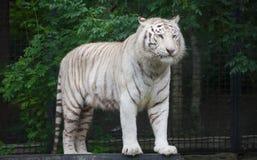 Белый тигр Бенгалии. Стоковое фото RF