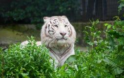 Белый тигр Бенгалии. Стоковое Изображение RF