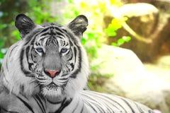 Белый тигр вариант пигментацией тигра Бенгалии Стоковое Изображение