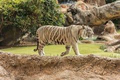 Белый тигр в зоопарке в хорошей защите животных в зоопарке Белый тигр в зоопарке в хорошем состоянии стоковые изображения rf
