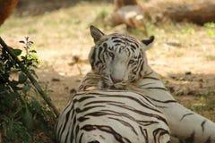 Белый тигр лижет его заднюю часть стоковые изображения rf