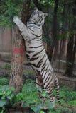 Белый тигр обнимая дерево стоковая фотография rf