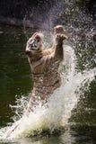 Белый тигр скачет/скачущ Стоковая Фотография RF
