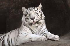 Белый тигр. Стоковые Фото