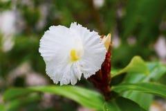 Белый тропический цветок на зеленой ветви с бутонами Белый цветок на зеленой ветви Стоковые Изображения