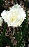 Белый тюльпан на белой предпосылке Стоковое Изображение RF